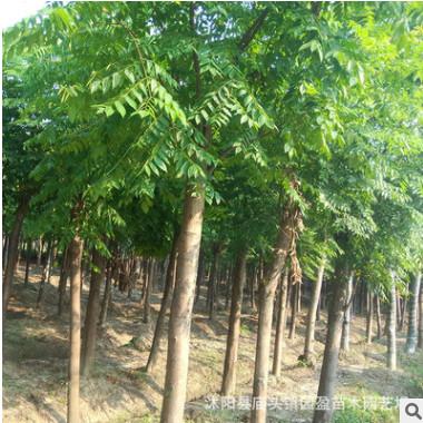 园林绿化工程苗木黄山栾树行道林荫防护树落叶乔木栾树