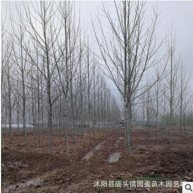 园林绿化工程苗木法国梧桐行道树林荫树落叶乔木速生法桐