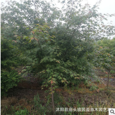 园林绿化工程苗木鸡爪槭景点道路点缀落叶小乔木鸡爪槭