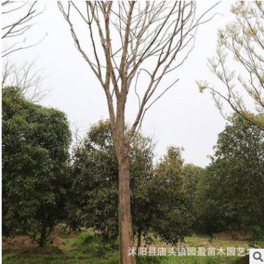 园林绿化工程苗木榔榆行道风景林荫树落叶乔木江苏榔榆