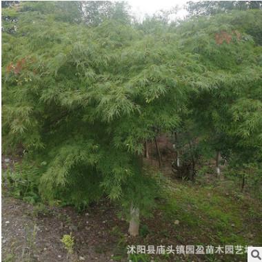 园林绿化工程苗木羽毛枫景点道路点缀落叶小乔木羽毛枫