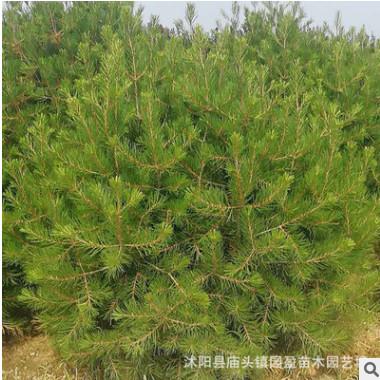 园林工程绿化苗木白皮松高绿化风景树常青乔木江苏白皮松