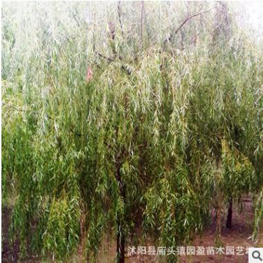 园林绿化工程苗木垂柳河边湖泊风景行道树落叶乔垂柳