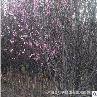 园林绿化工程苗木榆叶梅景点道路点缀落叶小乔木江苏嫁接榆叶梅