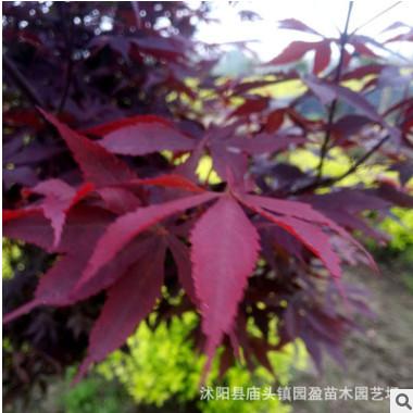 园林工程绿化苗木红枫景点公园道路点缀风景树落叶小乔木中国红枫