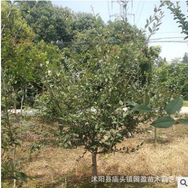 园林工程绿化苗木垂丝海棠景点公园绿化隔离点缀小乔木垂丝海棠