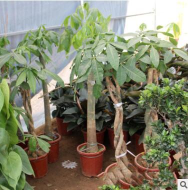 批发室内花卉 盆景植物 发财树盆栽客厅创意花草大型绿植净化空气