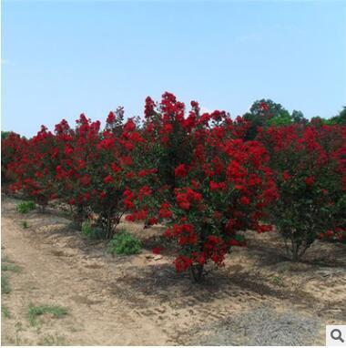 批发红火箭紫薇花苗工程绿化花苗色块绿篱庭园观花量大从优紫薇苗