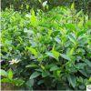 基地批发含笑树苗园林绿化苗木色块绿篱庭院观叶植物量大从优含笑