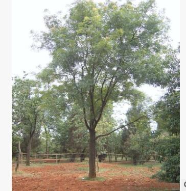 黄连木树苗批发园林绿化实地苗木色块绿篱行道点缀黄连木小苗