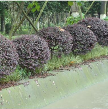 批发红花继木球工程绿化苗木红檵木道路色块绿篱红花继木苗