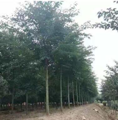 染井吉野樱花树基地直销现货野樱花量大樱花树南北方种植樱花树