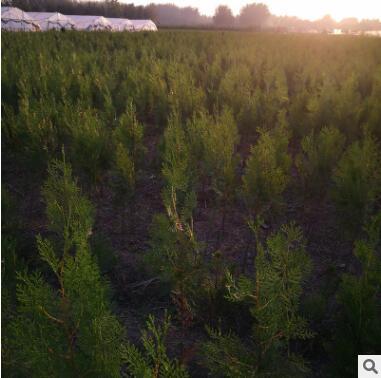 基地批发油松树苗绿化苗木四季常青行道点缀规格齐全油松苗盆景