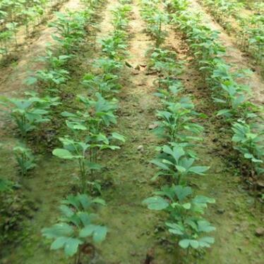 银杏树苗批发绿化苗木行道植物银杏果树苗 白果树