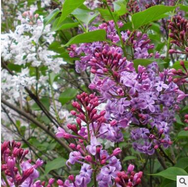 紫丁香树苗基地直销绿化苗木室内盆栽行道观赏规格齐全紫丁香花苗