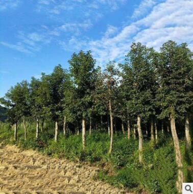 北美枫香树苗批发庭院观赏色块绿化苗木规格齐全量大从优枫香小苗