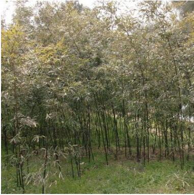 紫竹子苗批发庭院围墙竹类植物室内盆栽行道绿篱罗汉竹规格齐全