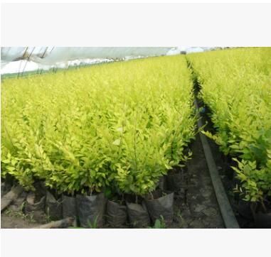 金叶榆树苗批发苗木特价工程绿化 园林植物造型金叶榆小苗
