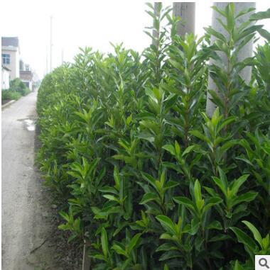 基地直销批发绿化带冬青苗规格40-50-60公分高苗根粗