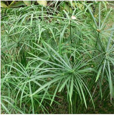 基地批发水生植物 旱伞草 风车草 水竹草 公园水体绿化 湿地绿化