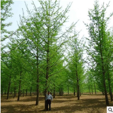 中国银杏之乡专供1-60公分银杏树 规格齐全 数量充足 基地直销