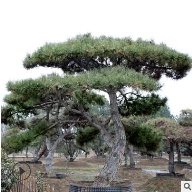 山东长期种植出售4-6米景观松多年生 南北方种植 枝条健壮景观松