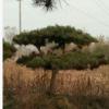 河北保定苗木基地批发油松平顶松 造型松