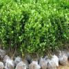绿化苗木冬青大叶黄杨苗 园林常绿灌丛 庭院篱笆墙小苗 基地批发
