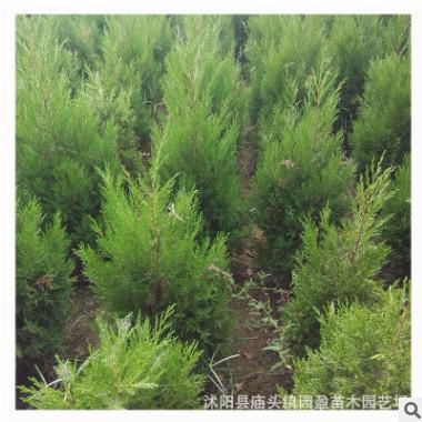 园林绿化工程苗木蜀桧柏道路中间隔离山坡绿化四季常青桧柏圆柏