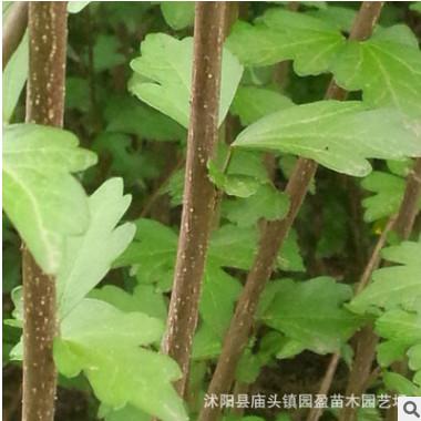 园林绿化工程苗木木槿锦带景点道路点缀落叶小乔木独杆丛生木槿