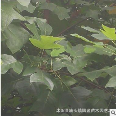 园林绿化工程苗木马褂木行道林荫风景树落叶乔木鹅掌楸江苏马褂木