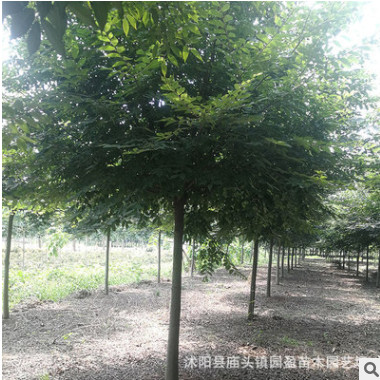 园林绿化工程苗木榉树行道风景防护树红榉树白榉树落叶乔木榉树