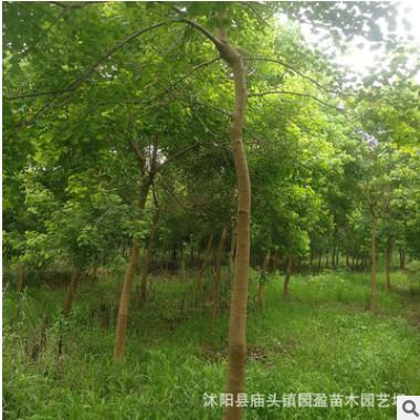 园林绿化工程苗木乌桕行道树落叶乔木林荫树苗江苏乌桕