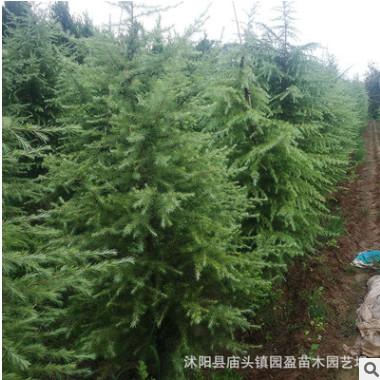 园林绿化工程苗木苏北耐寒耐旱雪松苗雪松树50公分高至7米高雪松