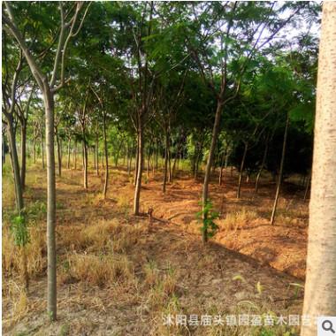 园林绿化工程苗木合欢树苗落叶乔木行道树合欢树合欢