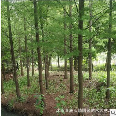 园林绿化工程苗木落叶杉湿地行道防护树落叶乔木落羽杉