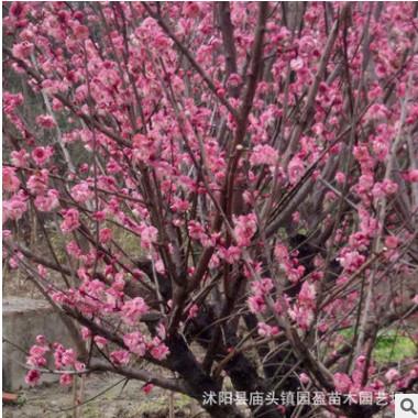 园林绿化工程苗木红梅景点道路点缀落叶小乔木骨里红桃接红梅
