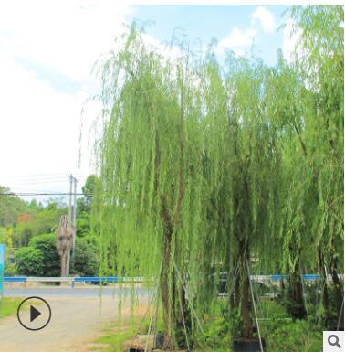 厂家直销各规格行道树绿化花木 优质垂柳绿化环境风景树