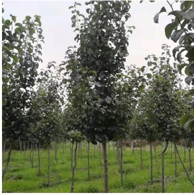 彩叶豆梨 三级观赏树高档绿化树青州苗木基地直销