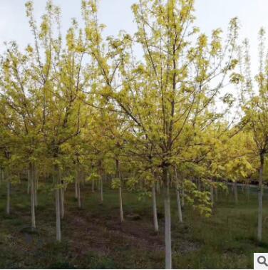 厂家直销金叶复叶槭园林绿化风景树景观树绿荫树量大批发