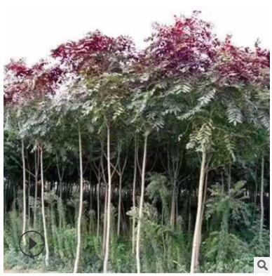 厂家基地直销 红叶椿 绿化工程苗木 红叶椿 常年批发