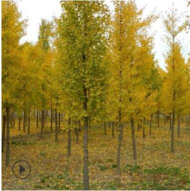 长期供应40-50-60-70-80公分银杏树实生银杏绿化乔木