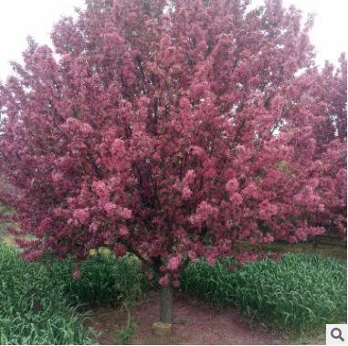 绚丽海棠 花色鲜艳美丽 优质海棠品种 喜光 耐寒 耐旱