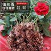 新品法兰西玫瑰种苗基地直发 不足一年生玫瑰花小苗绿化工程苗木