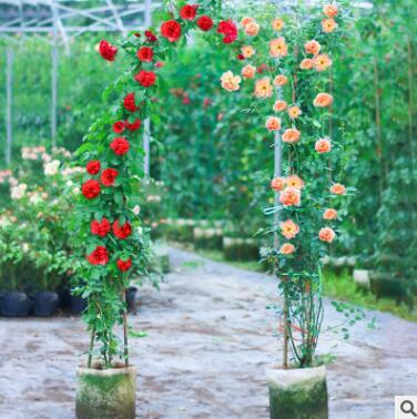 藤本月季蔷薇大苗爬藤植物花卉盆栽庭院阳台玫瑰大花浓香四季开花