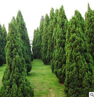 基地直销龙柏苗 四季常青绿化工程苗龙柏床苗盆栽地栽苗 龙柏球