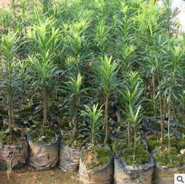 雀舌罗汉松树苗大叶罗汉松小米叶盆景庭院绿植素材造型矮化