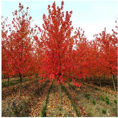 产地直销美国红枫树苗工程色块苗木秋火焰庭院嫁接精品美国红枫苗