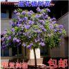 蓝花楹树苗名贵珍稀苗木盆栽地栽绿化树苗庭院行道树南方北方种植