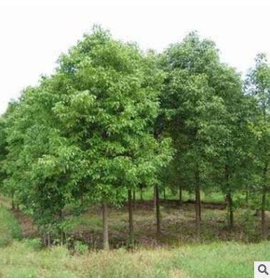 供应香樟树苗批发 苗木 工程苗木 各种规格齐全